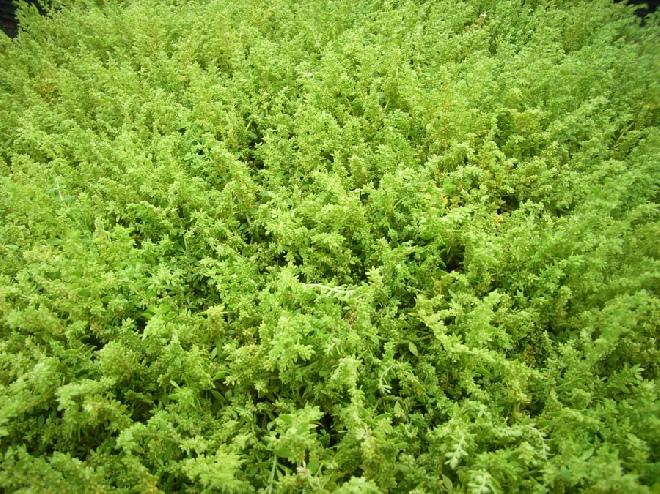 Slaapkamergeluk Plant : Jan den Hertog - Tuinplanten Boskoop