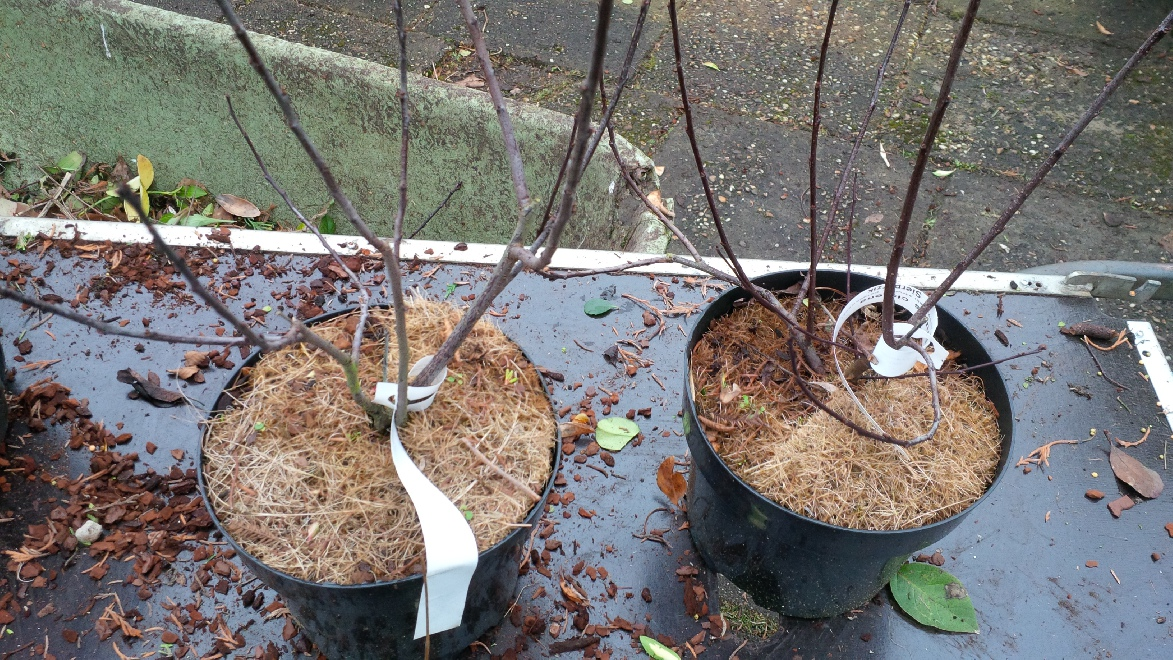 perenbomen groeien wit