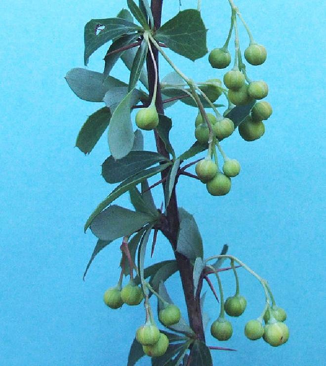 planten damiana kopen