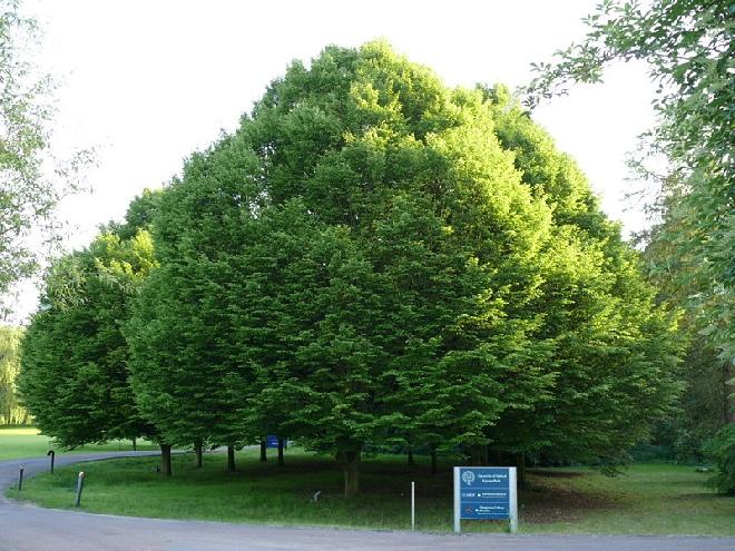 haagbeuk boom snoeien