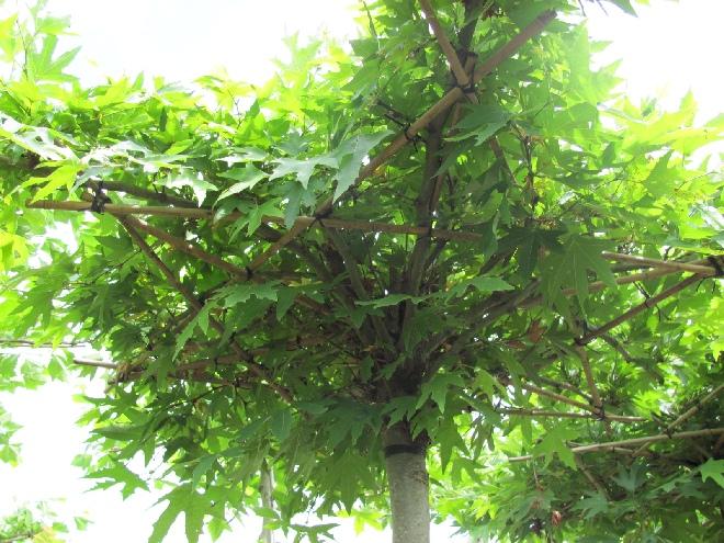Parasolboom In Tuin : Jan den hertog tuinplanten boskoop