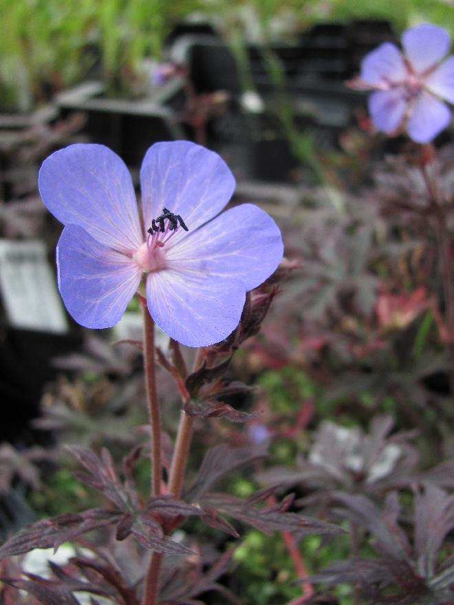 lage geranium soorten
