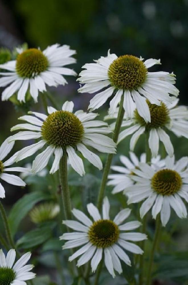 Witte Vaste Planten.Jan Den Hertog Tuinplanten Boskoop